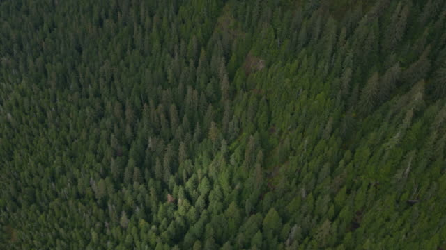 Wide shot of pine trees