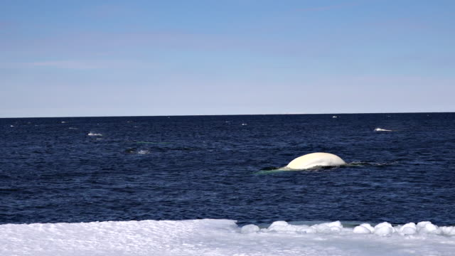 Wide shot of pods of narwhals and beluga whales feeding on small bait fish near the ice floe edge, Baffin Island, Canada.