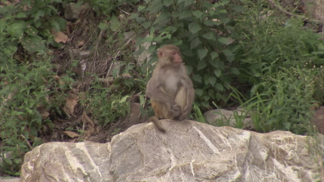 wide shot  of rhesus macaque monkey sitting on a rock - primate stock videos & royalty-free footage