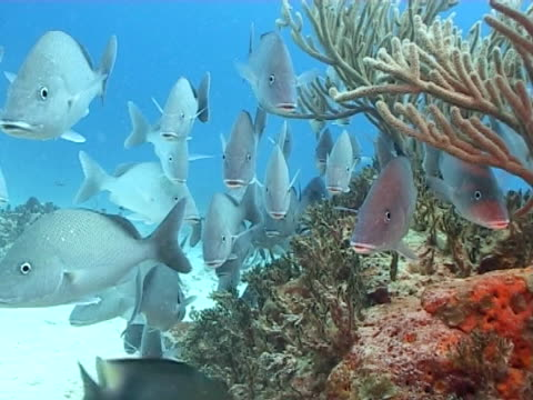 wide shot of school of grunt fish milling out of current on edge of reef - gill stock videos & royalty-free footage
