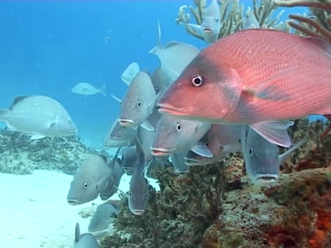 wide shot of school of grunt fish milling out of current on edge of reef - mittelgroße tiergruppe stock-videos und b-roll-filmmaterial