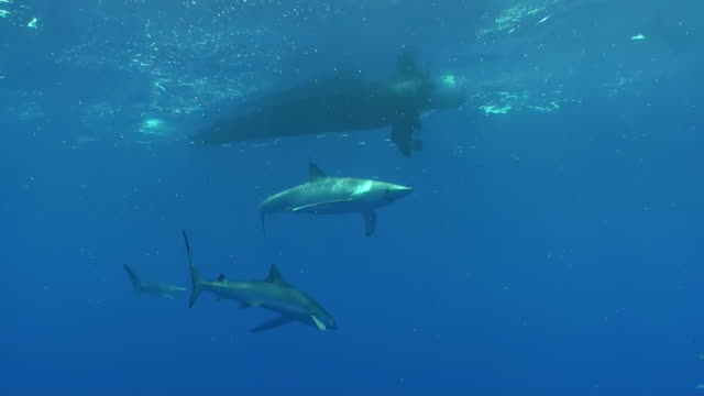 Wide shot of several blue sharks swimming just below the surface, The Azores, Portugal.