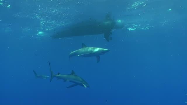 vídeos y material grabado en eventos de stock de wide shot of several blue sharks swimming just below the surface, the azores, portugal. - cuatro animales