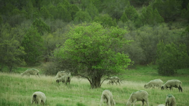 vídeos de stock, filmes e b-roll de wide shot of sheep grazing on grass in field / fairview, utah, united states - plano americano
