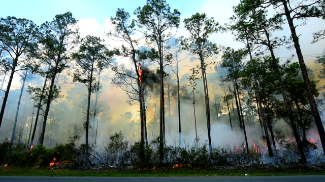 wide  shot of smoking pine forest fire behind road - burning stock videos and b-roll footage