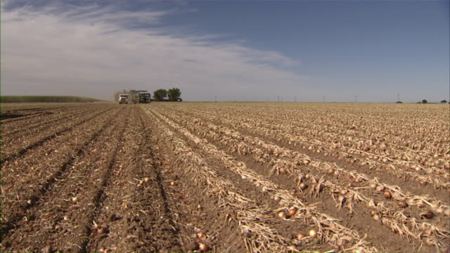 wide shot of the onion field with combine and tractor approaching in the distance. - onion stock videos & royalty-free footage