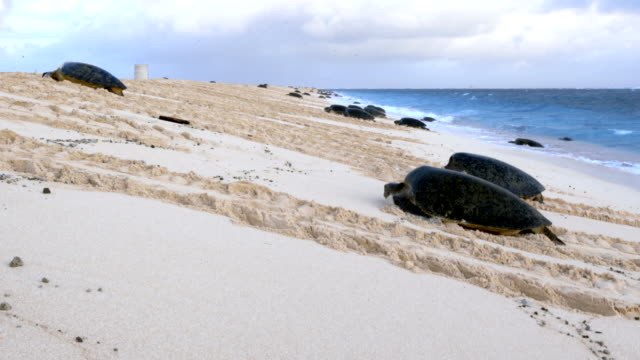 wide shot of turtles moving up the beach from the surf - green turtle stock videos & royalty-free footage