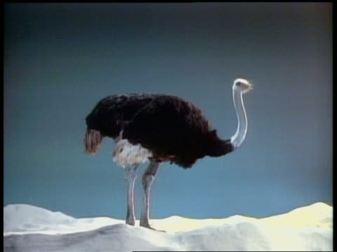 wide shot ostrich hiding head in sand - 隠れる点の映像素材/bロール
