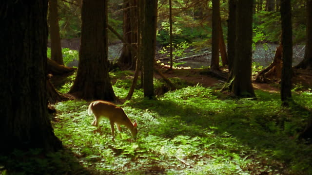 wide shot pan 2 deer grazing in forest - hirsch stock-videos und b-roll-filmmaterial