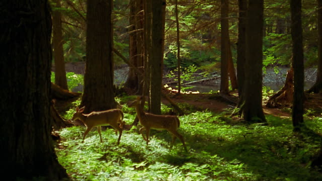 wide shot pan 2 deer walking through forest - deer stock videos & royalty-free footage