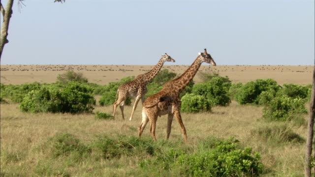 wide shot pan 2 giraffes walking through grass with herds dotting horizon / kenya, africa - animal neck stock videos & royalty-free footage
