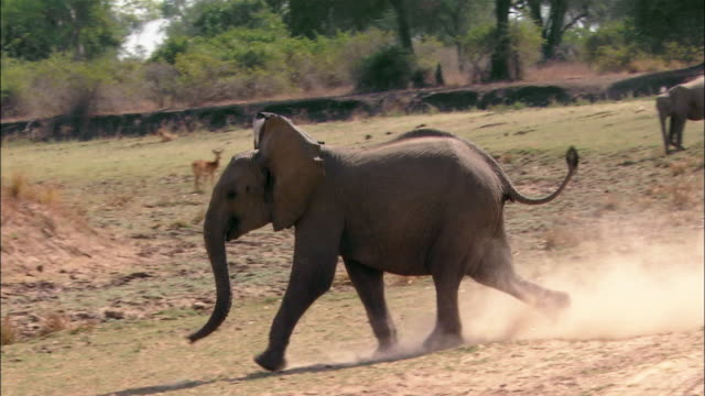 wide shot pan baby elephant walking / looking at cam / herd in background / south luangwa national park / zambia - elephant stock videos & royalty-free footage