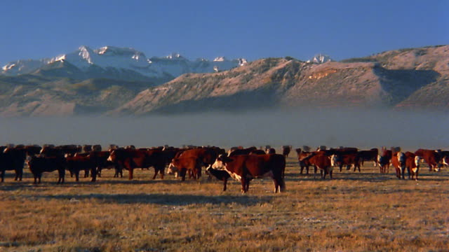 Wide shot pan cattle in field / mountains in background