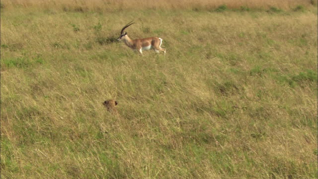 wide shot pan cheetah chasing grant's gazelle through grassy field / masai mara, kenya - cheetah stock videos and b-roll footage