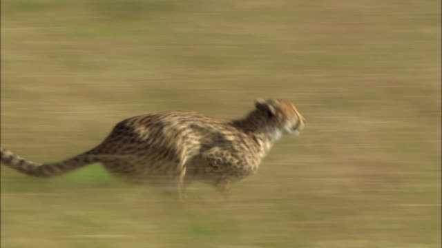 vidéos et rushes de wide shot pan cheetah chasing young topi /catching topi /mature topi chasing cheetah off /masai mara, kenya - chasser