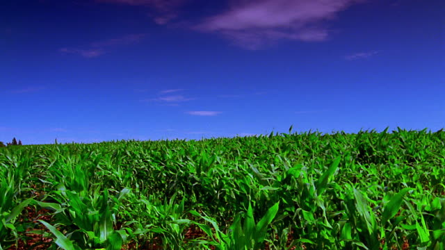 Wide shot pan cornfield with hay rolls in grassy field in background / Iowa