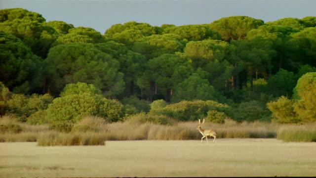 Wide shot pan deer running across a field / Spain