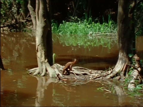 wide shot pan down tree in muddy river to coatimundi foraging among roots / amazon - foraging stock videos and b-roll footage