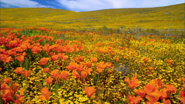 wide shot pan field of orange poppies and yellow buttercups with hill in background / lancaster, california - ラナンキュラス点の映像素材/bロール