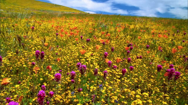 Wide shot pan field of orange poppies, buttercup and purple owl's clover swaying in the wind / Lancaster, CA