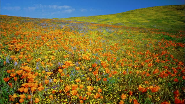 Wide shot pan field of orange poppies with yellow buttercups on hill in background / Lancaster, California
