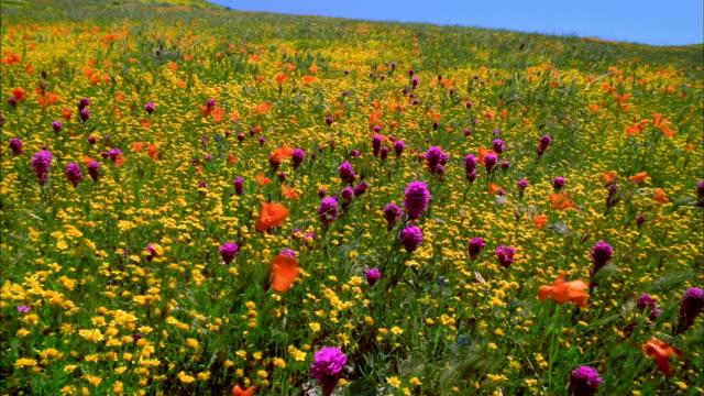 wide shot pan field of orange poppies, yellow buttercups and purple owl's clover / lancaster, california - ラナンキュラス点の映像素材/bロール