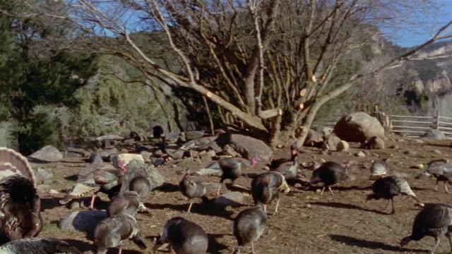 stockvideo's en b-roll-footage met wide shot pan flock of wild turkeys foraging outside ranch / new castle, colorado - foerageren