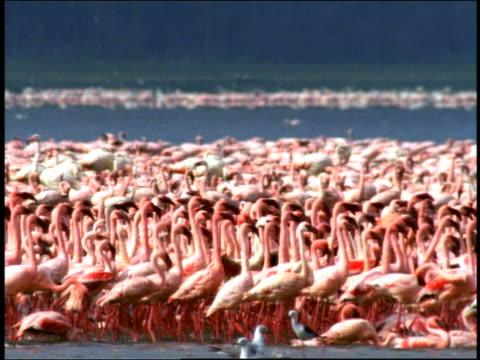 Wide shot pan flocks of flamingos at shore of Lake Nakuru / Kenya