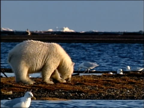 wide shot pan from polar bear to her cubs sniffing around beach surrounded by seagulls / alaska - arctic national wildlife refuge stock videos & royalty-free footage