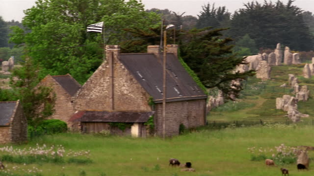 Wide shot pan from stone buildings to cows grazing in front of stone monuments at Carnac / France