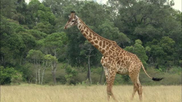 stockvideo's en b-roll-footage met wide shot pan giraffe walking and bending neck down to graze / masai mara, kenya - bukken