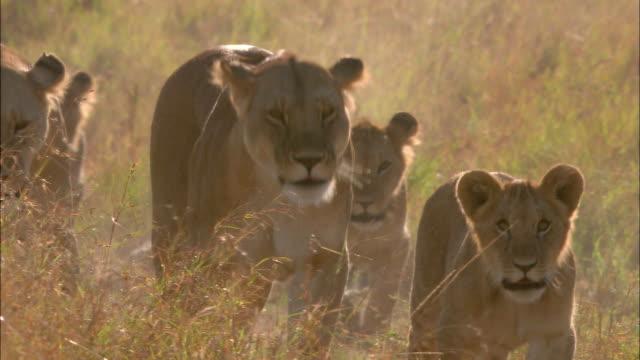 vídeos y material grabado en eventos de stock de wide shot pan group of lionesses and cubs walking down path with dust blowing / masai mara, kenya - reserva nacional de masai mara