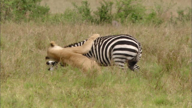 vidéos et rushes de wide shot pan lioness chasing and attacking zebra / 2nd lioness pouncing to help / masai mara, kenya - chasser