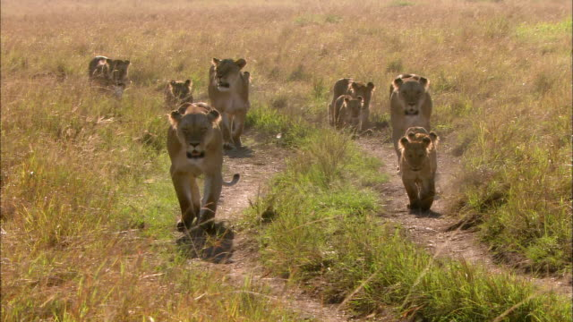 wide shot pan lionesses and cubs walking down path / masai mara, kenya - großwild stock-videos und b-roll-filmmaterial