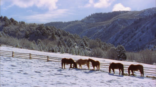 Wide shot pan over horses grazing in snow-covered field w/mountains in background / Colorado
