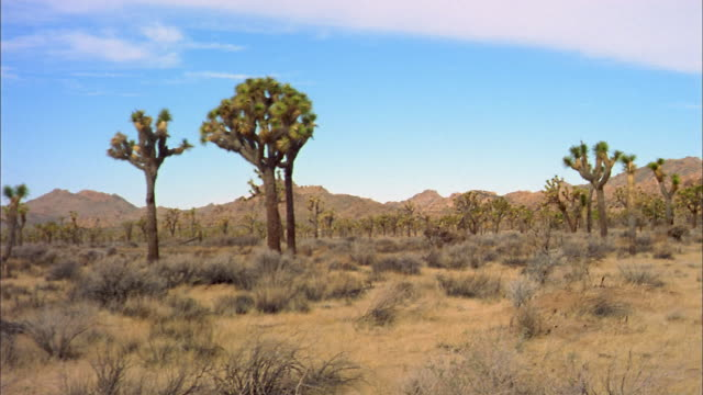 Wide shot pan over Joshua trees in Joshua Tree National Park / California