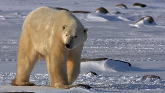 wide shot pan polar bear walking lazily in snow toward camera / arctic - eisbär stock-videos und b-roll-filmmaterial