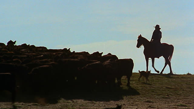 wide shot pan silhouetted cowboy on horseback herding cattle - herd stock videos & royalty-free footage