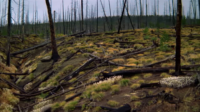 wide shot pan stand of dead and fallen trees + young pines / yellowstone national park, wyoming - dead plant stock videos & royalty-free footage