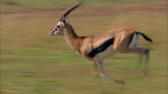 vídeos y material grabado en eventos de stock de wide shot pan thomson's gazelle running through grass / masai mara, kenya - kenia