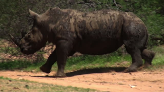 wide shot pan-left - a rhinoceros gallops over a dusty trail. / johannesburg, south africa - rhinoceros stock videos & royalty-free footage