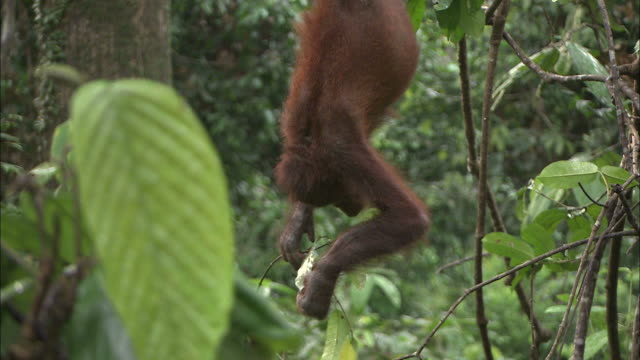 wide shot pan-left tilt-up - an orangutan hangs from a branch by its hands and feet / borneo, indonesia - upside down stock videos & royalty-free footage