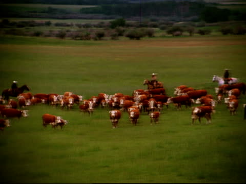 wide shot panning cowboys herding cattle on grassland / canada - herding cattle stock videos & royalty-free footage
