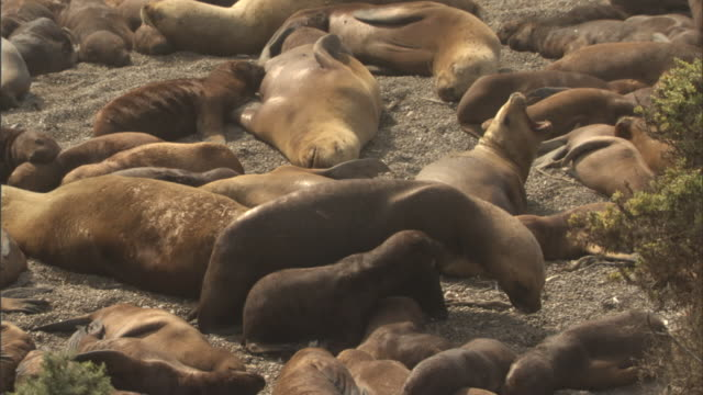 wide shot pan-right - a mother seal and her pup waddle amid a sleeping herd. / south america, argentina, chubut - seal pup stock videos and b-roll footage