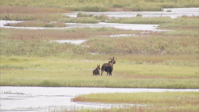 """""""wide shot pan-right static-a moose and her calf splash across a shallow stream. / alaska, usa"""" - hooved animal stock videos & royalty-free footage"""