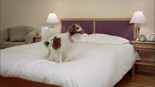 Wide shot Papillon jumping on bed/ dog jumping off bed/ California