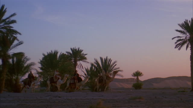 wide shot people riding on camels across desert with palm trees in background / dusk or dawn - herbivorous stock videos & royalty-free footage