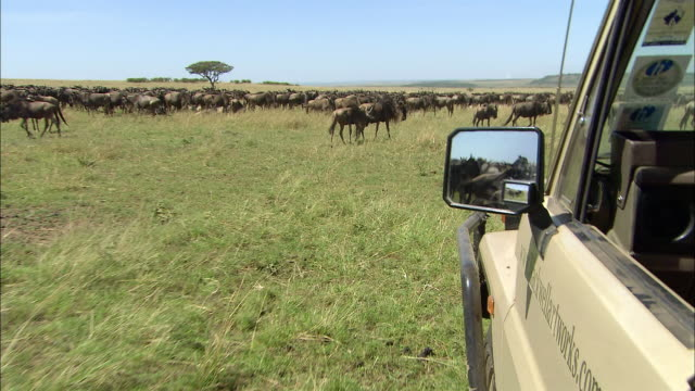 Wide shot point of view looking out window of safari vehicle driving through migrating wildebeests /Masai Mara, Kenya