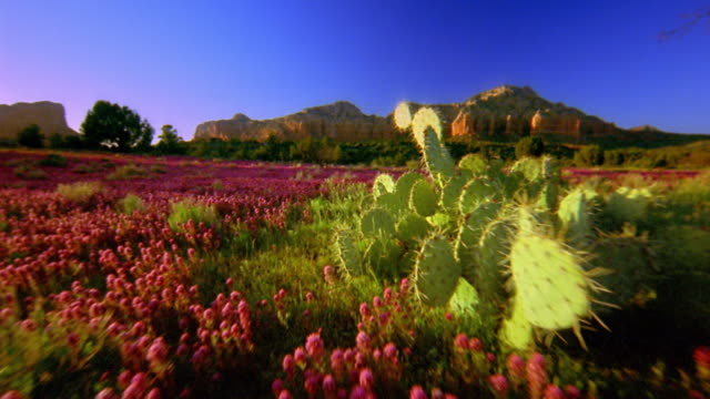Wide shot point of view through wildflowers and past cactus in meadow towards rock formation / Sedona, Arizona