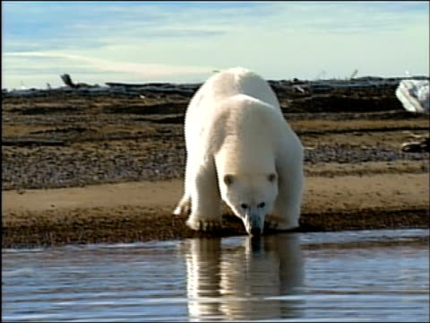 wide shot polar bear walking along water's edge / zoom out bear sniffing at water / looking at camera / alaska - arctic national wildlife refuge stock videos & royalty-free footage